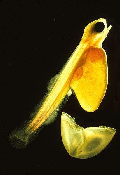 Les alevins (ici un saumon sorti de son œuf) sont obtenus dans les écloseries. Ils sont souvent stériles car triploïdes. © Uwe Kils, Wikimedia, GFDL 1.2
