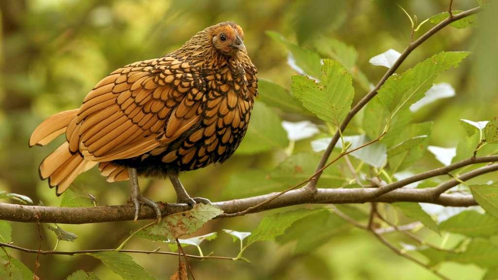La sebright, une poule naine élégante