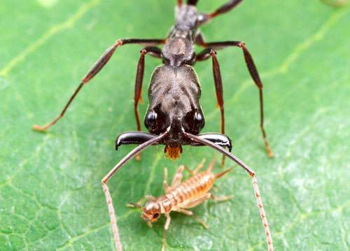 Une fourmi prédatrice. Odontomachus bauri s'apprête à refermer des mandibules-piège sur une larve de grillon. © A. Wild