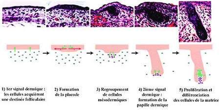 Morphogenèse du poil.