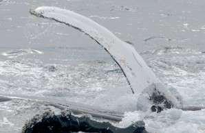 L'évènement de janvier 2009, près de la péninsule Antarctique. Retournée, une baleine à bosse est venue sous un phoque pour le porter sur son ventre. Avec l'une de ses nageoires (de plus de 4 m), elle l'empêche basculer dans l'eau, où l'attendent des orques. La photographie a été prise par Robert Pitman, l'un des observateurs et l'un des auteurs de la présente étude. © Robert Pitman, Natural History