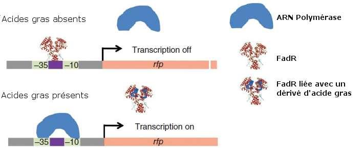 Le système de régulation dynamique de gènes se compose d'un facteur de transcription nommé FadR. En présence d'acides gras, il ne se fixe pas aux promoteurs des gènes intervenant dans la biosynthèse de diesel. Dans le cas inverse, il bloque l'action de l'ARN polymérase. © Adapté de Zhang et al. 2012, Nature Biotechnology