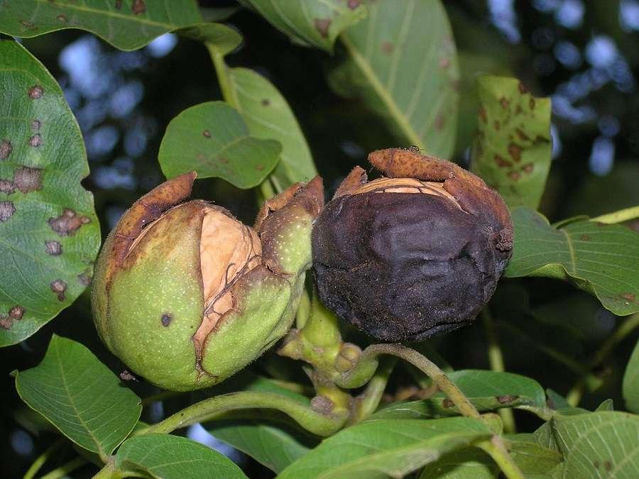 Brou de noix qui entoure les fruits. © Kai-Martin Knaak, Domaine Public
