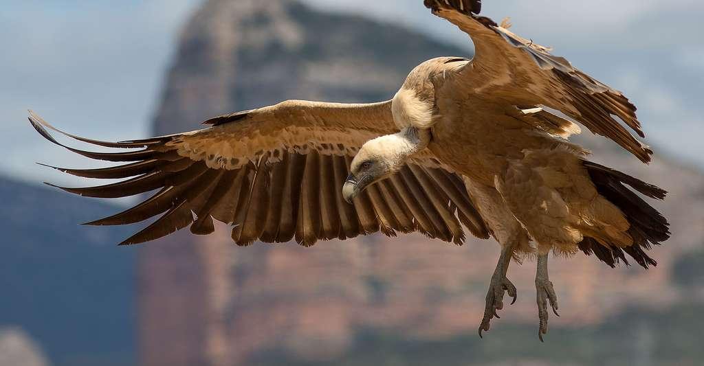 Voici la liste de tous les rapaces diurnes d'Europe. Ici, un vautour fauve. © Pierre Dalous, CC by-sa 3.0
