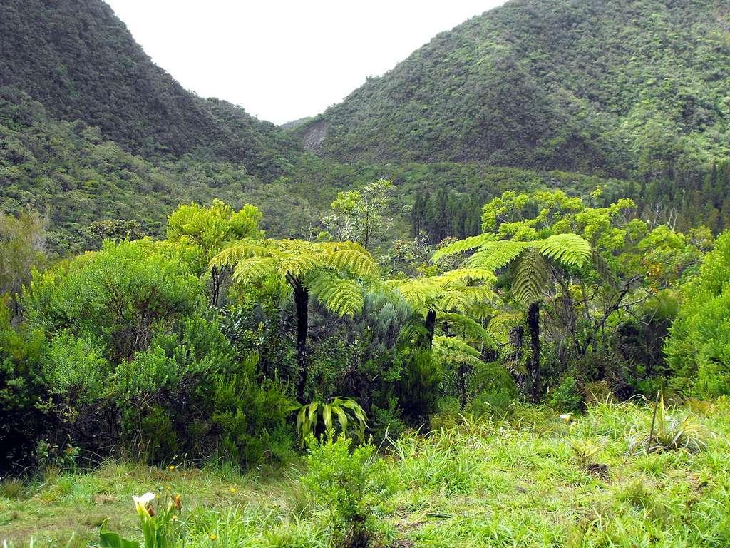 Des fougères arborescentes dans la forêt de Bébour. © Geolina163 - CC BY-SA 4.0