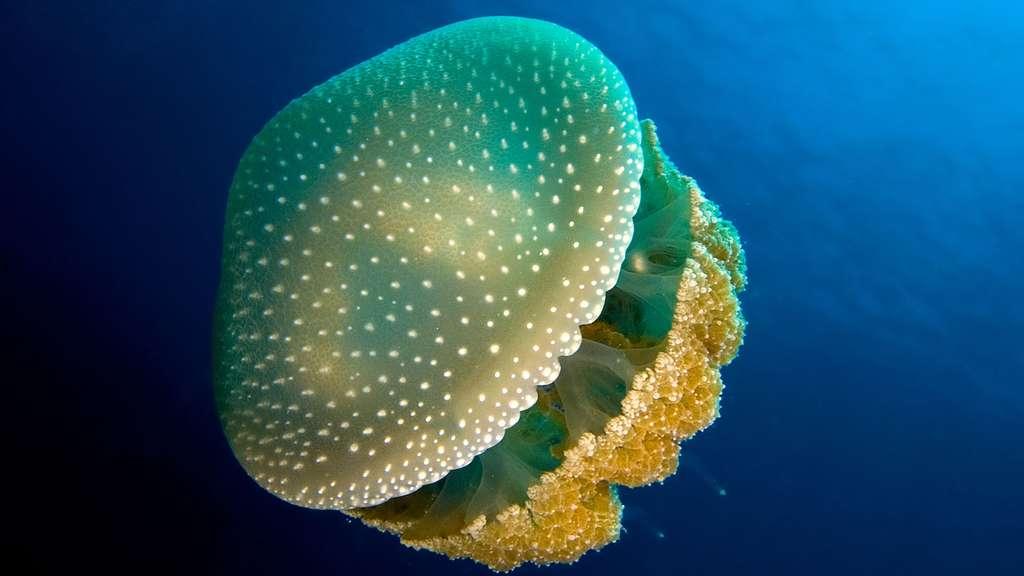 Phyllorhiza punctata, la méduse à pois blancs