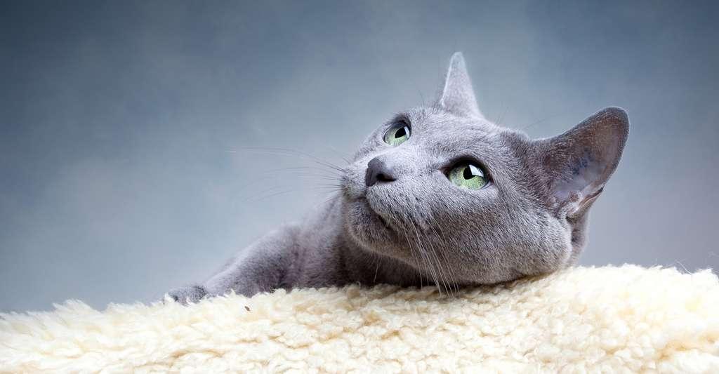 Autrefois, le chat bleu russe, originaire des rives de la mer Blanche (Russie), était élevé pour sa fourrure particulièrement efficace dans la lutte contre le froid. © Karlos, Fotolia