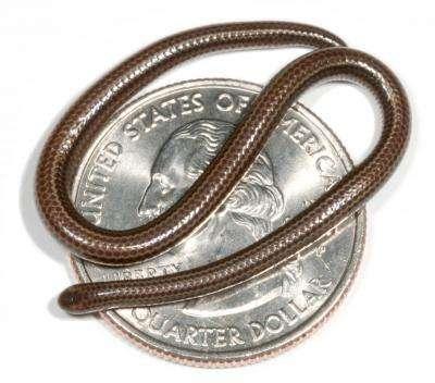 Tetracheilostoma carlae, le serpent spaghetti