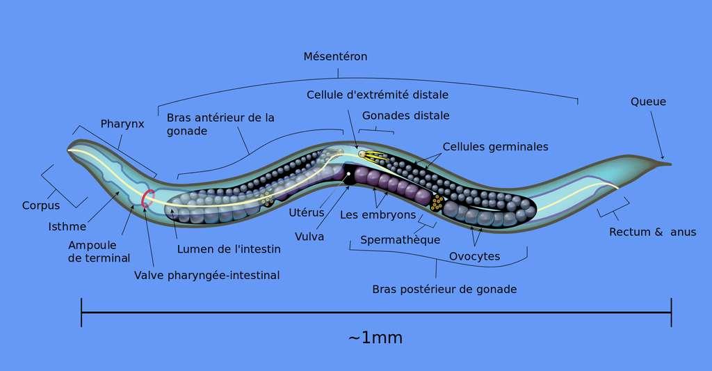 Nématode Caenorhabditis elegans. © Domaine public