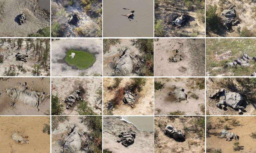 Les images aériennes des carcasses des éléphants découvertes dans le delta de l'Okavango. © The Guardian