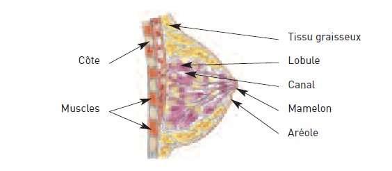 Structure du sein (glande mammaire). © INCA