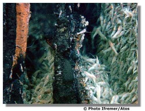 Groupes de Rimicaris exoculata sur un site de l'Atlantique. © Ifremer