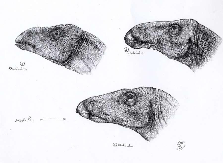 Différentes têtes du rhabdodon réalisées en collaboration avec les scientifiques. © Michel Fontaine