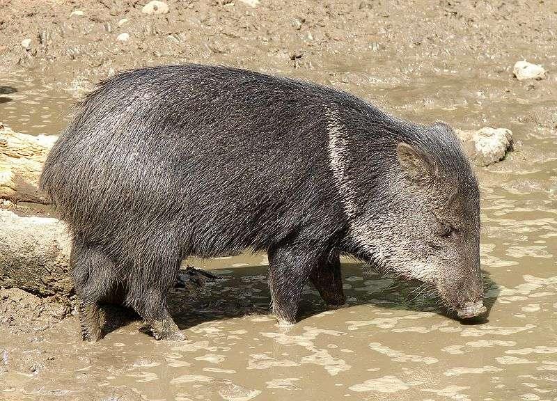 Pécari à collier dans sa bauge. © Chrumps, Wikipédia, GNU 1.2