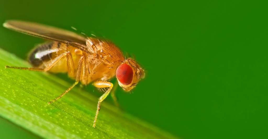 Drosophila Melanogaster. © Studiotouch - Shutterstock