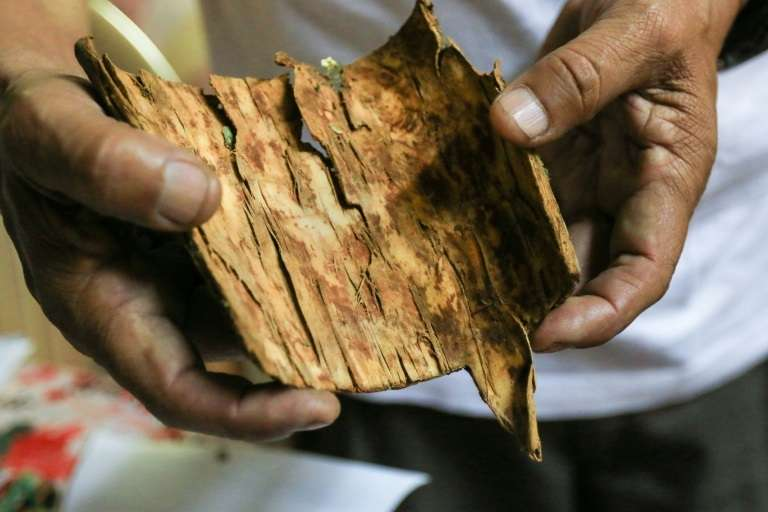 Un morceau d'écorce de quinquina, le 13 septembre 2018, à Trujillo, au Pérou. © CELSO ROLDAN, AFP