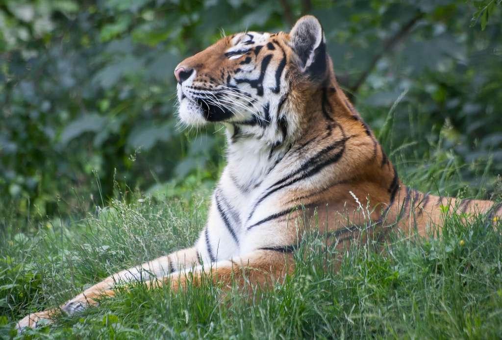 Les tigres de Sibérie adultes mesurent 1 à 1,2 m au garrot. Leurs griffes atteignent environ 10 cm de long. © Bastien Mejane, Flickr, cc by nc nd 2.0