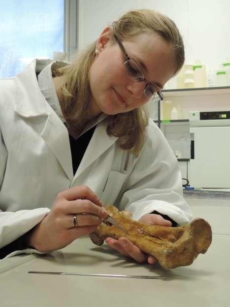 Delphine Angst prélève un fragment d'os (tarsométatarse) de Gastornis provenant du gisement de Mont-de-Berru (Marne) pour analyse géochimique. © Delphine Angst