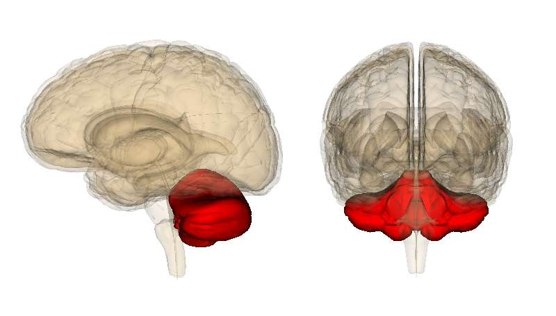 Le cervelet collabore à l'activité motrice, et s'est particulièrement développé durant l'évolution humaine, notamment pour mieux répondre à la bipédie, mais aussi pour coordonner tous les mouvements nécessaires au langage. © LSDB, Wikipédia, cc by sa 2.0