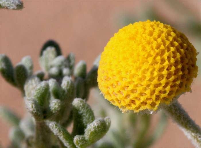 Flore du Maroc - Cotula cinerea.