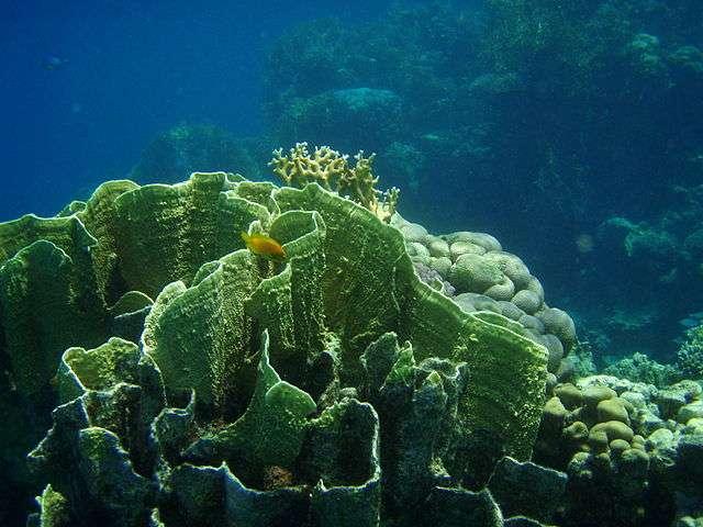 Sur les îles, le revêtement des sols rend ces derniers imperméables, ce qui accentue le lessivage des sédiments. Ils s'accumulent en mer et étouffent les coraux (ici Millepora platyphylla). Revoir les politiques d'aménagement est l'une des pistes pour améliorer la conservation des coraux. © Pannini, Wikimedia Commons, CC by-sa 3.0