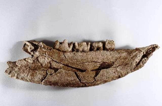 Une mandibule de rhinocéros laineux, peut-être le reste d'un tableau de chasse des néandertaliens ayant vécu sur le site de Quincieux. © Henri Granjean, collectif item, Inrap