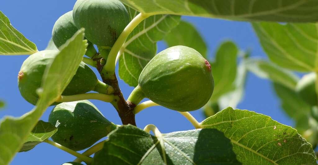 Sur le figuier, les fruits apparaissent sur le bois de l'année. © Dgazdik, Pixabay, DP