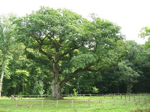 Chêne Quercus petraea de la commune de Rigney dans le Doubs agé d'environ 300 ans. © Arnaud 25, domaine public