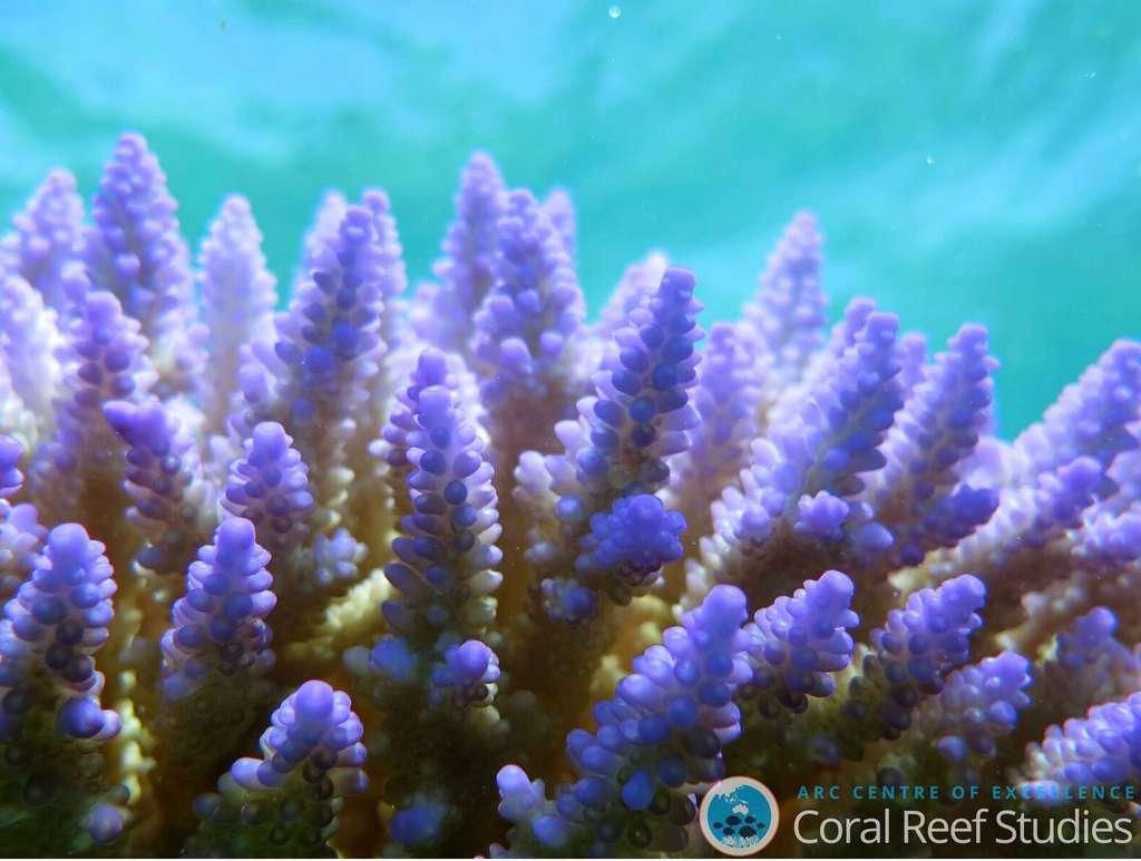 Corail non blanchi. © Dorothea Bender-Champ