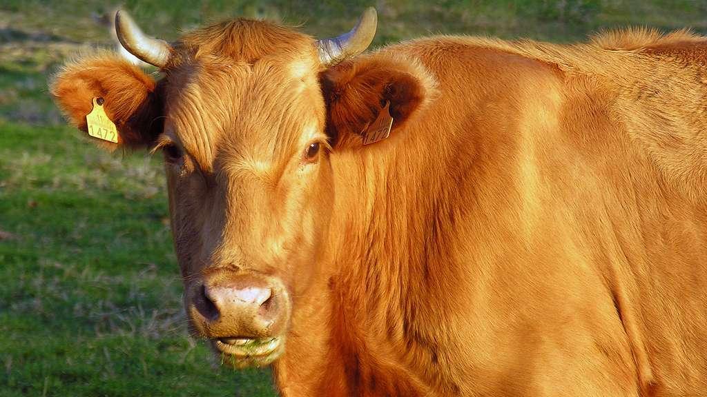 La blonde de Galice, une race de vache à tout faire