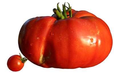 Diversité des tailles chez la tomate : une tomate cerise à coté d'une tomate cœur de bœuf. © Berrucommons Wikipedia