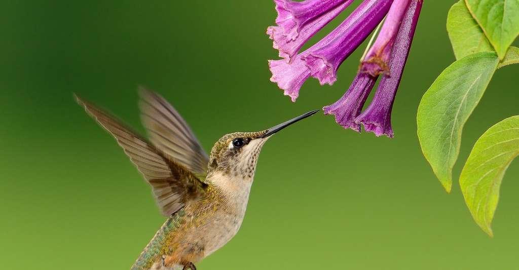 Colibri. © Skeeze, Pixabay, DP