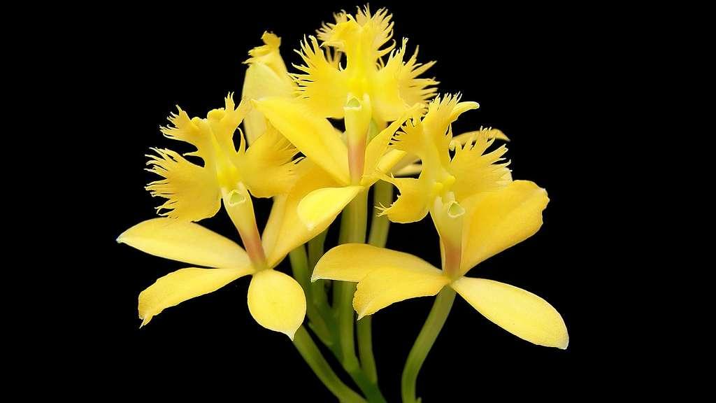 Un épidendron jaune ou Epidendrum ibaguense