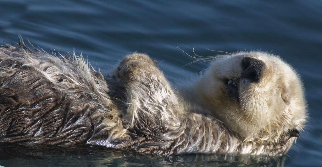 Loutre de mer (Enhydra lutris) allaitant son petit dans le port de la baie de Morro. Les loutres de mer femelles ont deux tétons abdominaux et flottent sur le dos pour allaiter. © Mike Baird Creative Commons Attribution 2.0 Generic license.