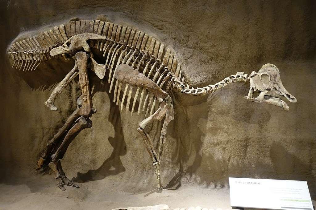 Une reconstitution du squelette d'un Hypacrosaurus altispinus (à ne pas confondre avec Hypacrosaurus stebingeri), incorporant à la fois des os et des moulages, présentée au Royal Tyrrell Museum, Alberta. © CC by-sa 4.0, Etemenanki3