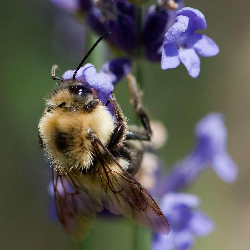Le bourdon terrestre Bombus terrestris appartient à la famille des abeilles, les apidés. Il établit chaque année de nouveaux nids sous terre. Végétarien, cet animal se nourrit exclusivement de pollen et de nectar. Selon une étude récente, il pollinise tout aussi bien les cultures que les abeilles domestiques. © nosha, Flickr, CC by-sa 2.0