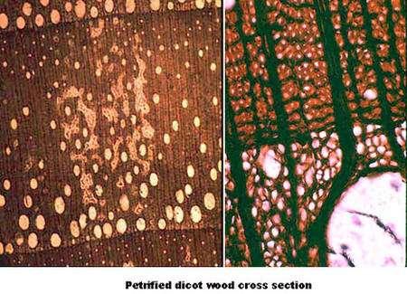 À gauche : dicotylédone bois pétrifié. À droite : détail Petrified wood dicotylédone. © DR