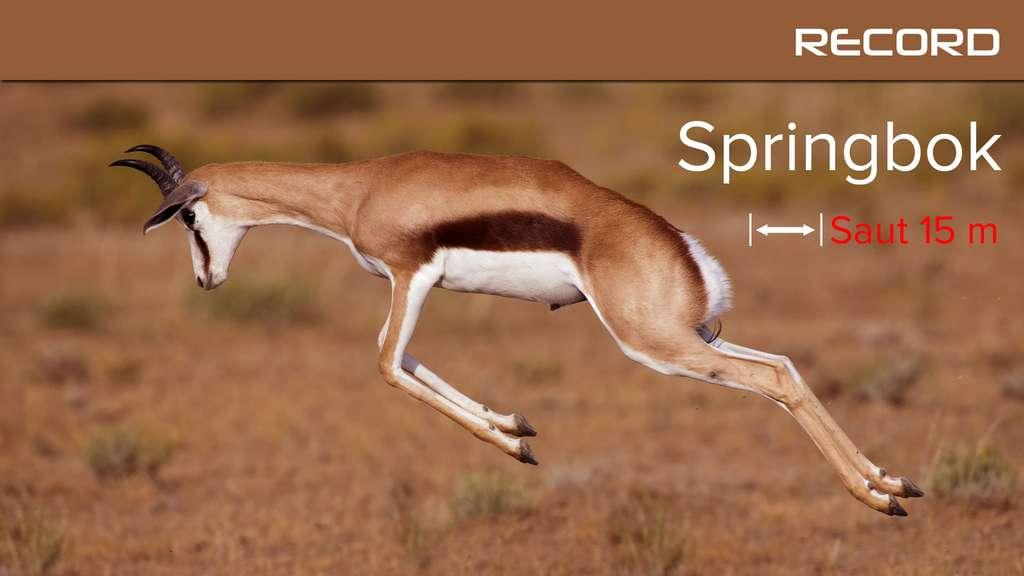 Le springbok, l'antilope montée sur ressorts