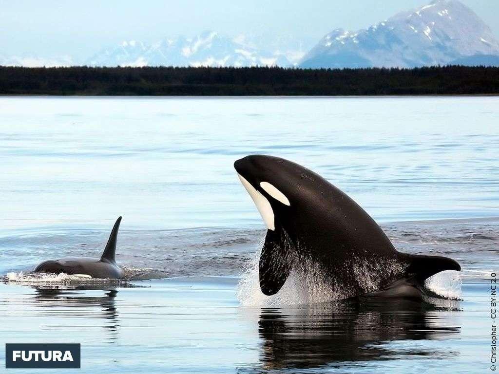 Orque et son bébé sortant hors de l'eau