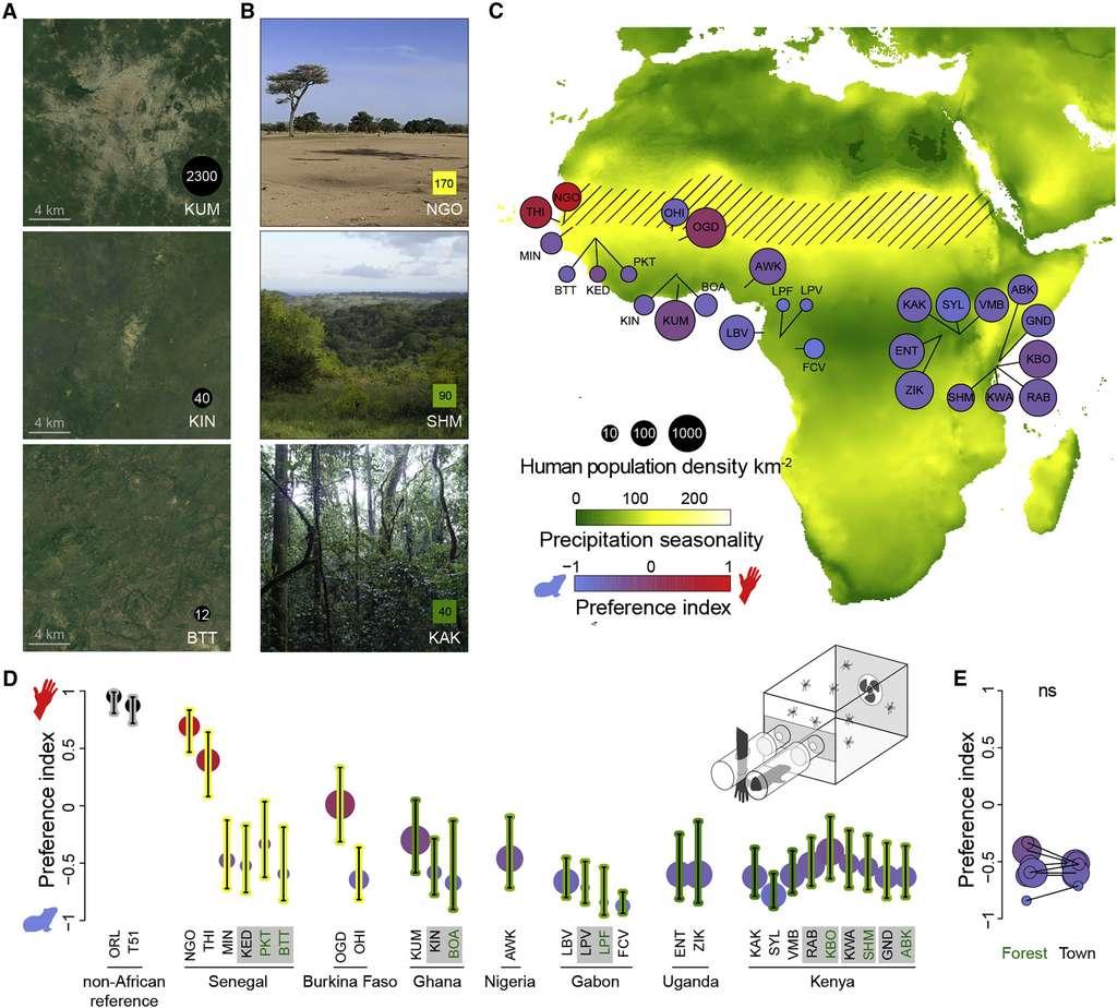 Les figures A et B montrent quelques-unes des zones où les moustiques ont été capturés. La figure C montre sur le continent africain les moustiques qui préfèrent piquer les animaux (en bleu-violet) et ceux qui préfèrent piquer les humains (en rouge) en fonction de la densité de population et de la sécheresse. Enfin, la figure D montre que les différences ne sont pas simplement expliquées par un environnement forestier et citadin. © Noah H. Rose et al., Cell 2020