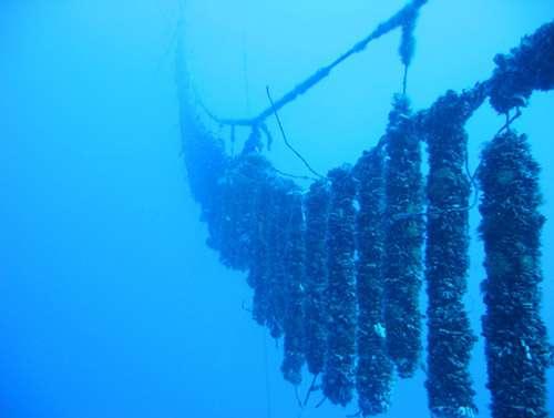 Naissain capté sur des collecteurs immergés dans un lagon. © Ifremer, tous droits de reproduction interdits