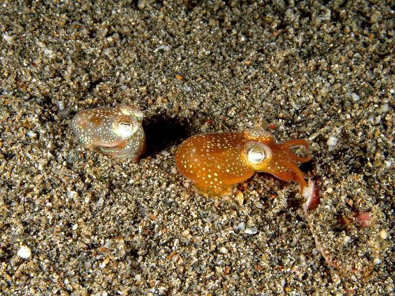 Euprymna scolopes abrite une communauté de Vibrio fischeri, une bactérie bioluminescente. Le calmar contrôlerait activement son microbiote, puisqu'il peut en effet éjecter un certain nombre de micro-organismes quotidiennement pour se défendre. © Nick Hobgood, Wikimedia common, CC by-sa 3.0