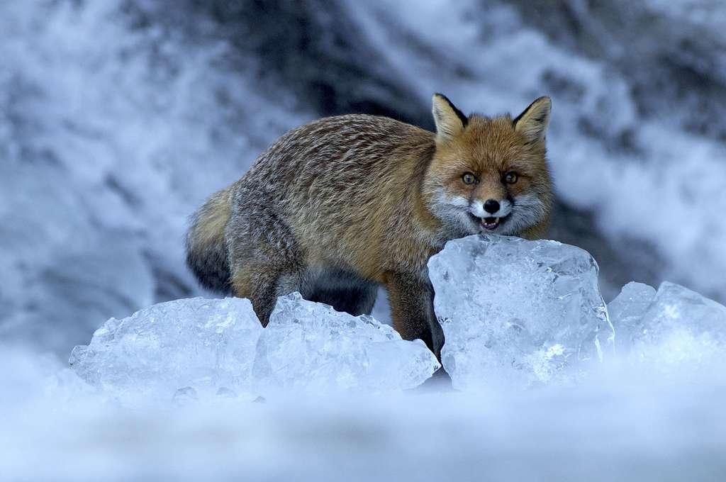 Le renard, rusé, intelligent et solitaire