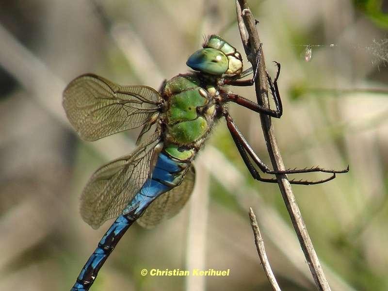 L'Anax empereur, ou Anax imperator, l'une des plus grandes libellules