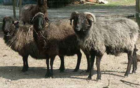 Astrakan agneaux Karakul