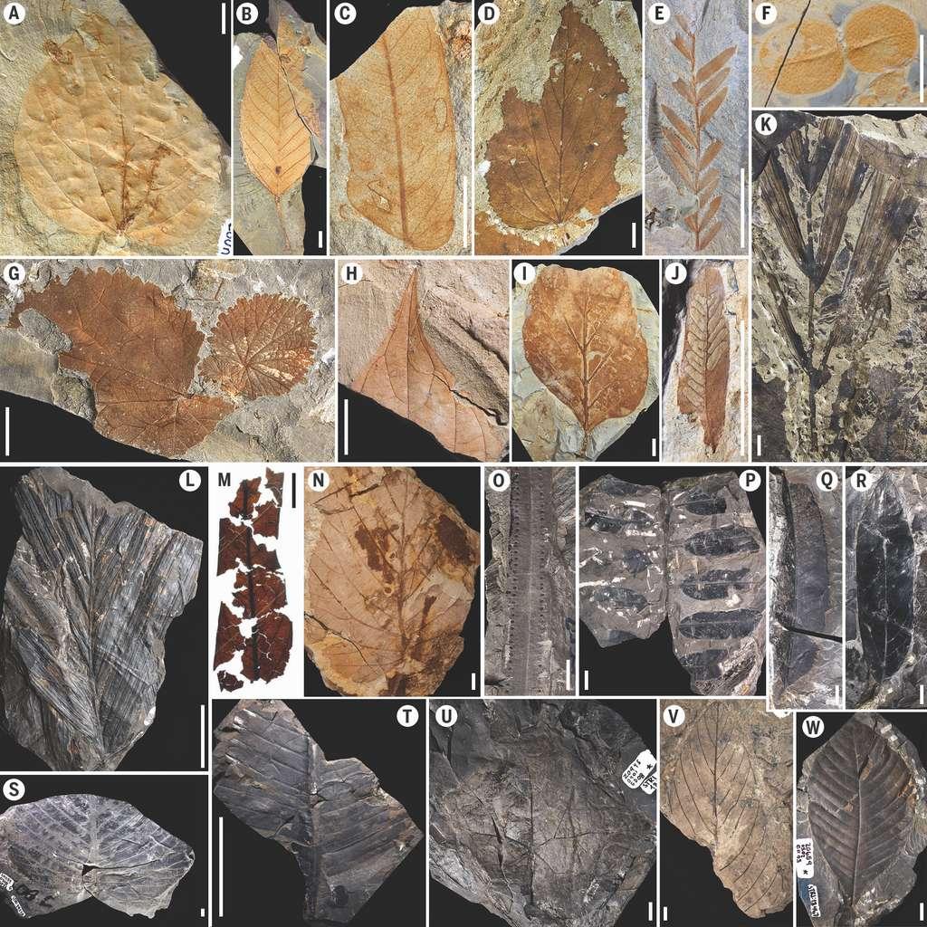 Exemples des fossiles de feuilles de plantes dominant la flore après l'impact de l'astéroïde (Menispermacées, Salicacées, Euphorbiacées, Fabacées…). © Mónica Carvalho et al, science, 2021