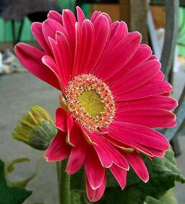 La reine-marguerite à fleurs simples ou doubles, idéale pour les bouquets. © Fir0002, Licence de documentation libre GNU, version 1.2