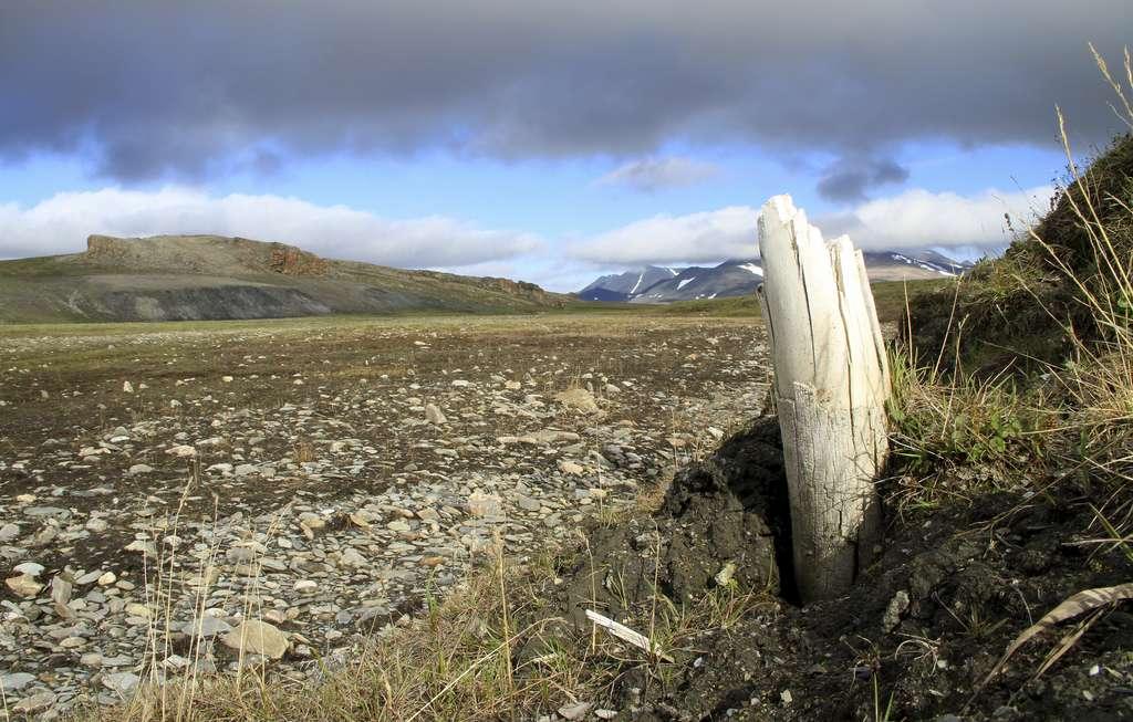 Une défense de mammouth émergeant du permafrost sur l'île de Wrangel, en Sibérie. © Love Dalén