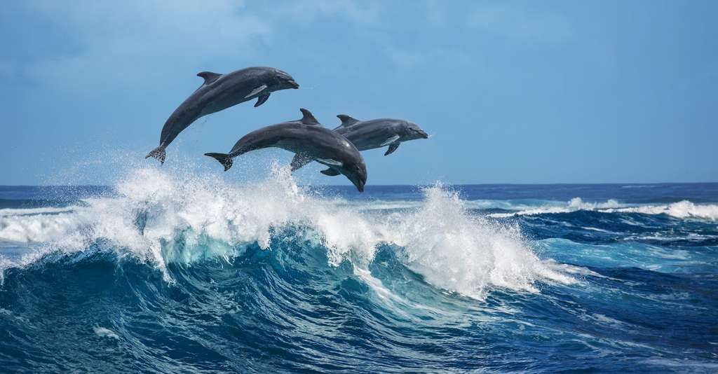 Pour «ne pas refuser aux générations futures la possibilité de découvrir […] ces espèces sensibles, intelligentes, sociales et inspirantes», des chercheurs appellent à protéger baleines, dauphins et marsouins de toute urgence. © Willyam, Adobe Stock