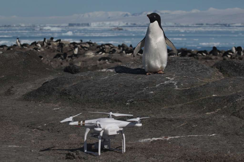 Un manchot Adélie et l'un des drones qui a servi au décompte de la colonie géante découverte du côté des Danger Islands. © Rachael Herman, Stony Brook University, Louisiana State University